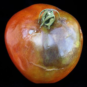 Late blight on tomato.  From Cornell University
