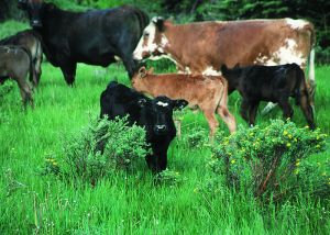 Cattle on irrigated pasture in Colorado.  Photo courtesy of   the NRCS via Wikimedia Commons