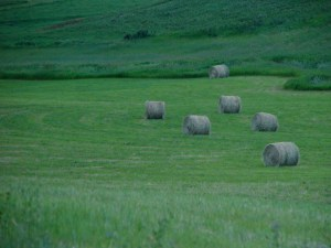 Should you hay this irrigated pasture?  Or could you graze it more easily and profitably?