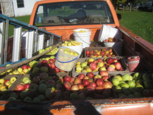 Bountiful wild apple harvest.  Photo by Troy Bishopp