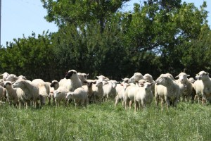 A portion of the 200 ewes and 320 lambs in one of 21 paddocks.