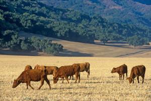 ojai cows black mountain ranch adj-M