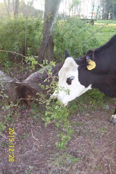 Cattle Can be Good Brush Managers – On Pasture