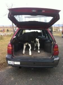 Hauling a veal calf in a car