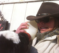 Bottle feeding a veal calf