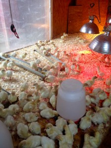 Heat, water, feed and fresh bedding. A great turkey recipe!