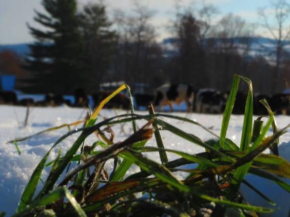 Stockpiled grass for winter-grazing