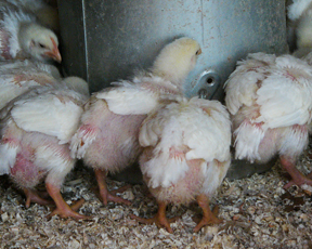 These meat birds are 2 weeks old… they get bigger, but don't get many more feathers in the next 3 weeks.