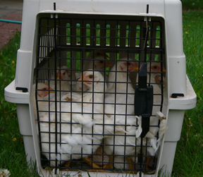 19 meat birds will NOT fit in a cat carrier… but 19 pullets will!