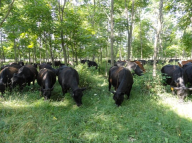 Silvopastured Cattle