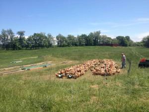 1,000 free-ranging hens, enjoying a 1 o'clock lunch break.