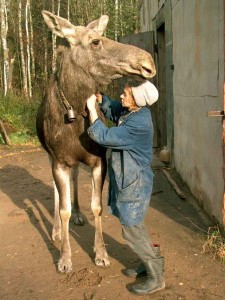 A dairy worker attaches a radio tracking collar to a milk moose at Kostroma Moose Farm. Photo by Dr. Alexander Minaev