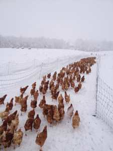 Outfitting hens with snowshoes each winter takes more time than you'd think.