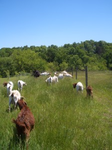 Animals strip-grazing in pasture divided with portable electric fencing.