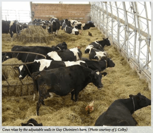 Cows Relax in Bedded Pack