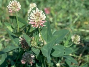 Kura clover photo courtesy of Midwest Cover Crops Council.