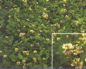 Kopu II white clover photo courtesy of Ampac seeds.