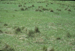 A closely grazed bahiagrass pasture. Note that smutgrass has not been consumed by cattle and likely has a competitive advantage for light and water.
