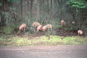 Unmanaged, pigs can quickly destroy fragile sylvan soil structure…