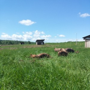 Snug Valley Farm pastured pigs