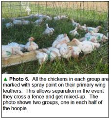 Chicks in feeding trial
