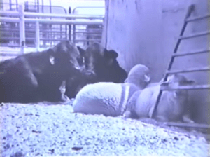 Here's a 1987 JER picture showing bonding in progress.  The sheep do not bond to an individual cow but to the species in general.
