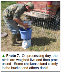 Weighing chickens