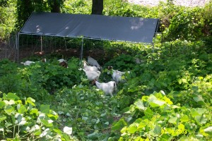 Grazers love shade as much as we do!