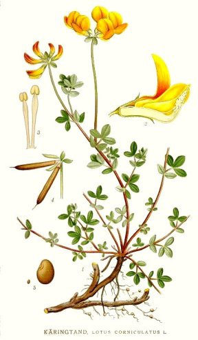 Here is birdsfoot trefoil (lotus corniculatus) broken down into parts so you can identify it.