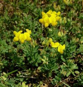 Lotus_corniculatus_plant