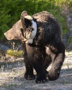 Collared grizzly bear. Photo courtesy of Paul Lazarski