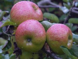 Bramley seedling apples ready for picking. Photo courtesy of Markus Hagenlocher.