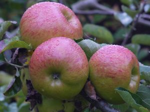 Bramley seedling apples ready for picking. Photo courtesy of Markus Hagenlocher.