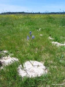 Native camas lily on cow pile. (Photo courtesy of Peter Dunwidde, CNLM)