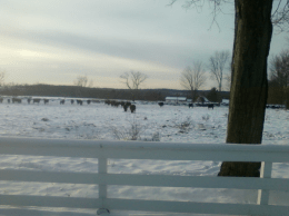 Cattle grazed easily through this February storm that dropped just under 4 inches of snow.