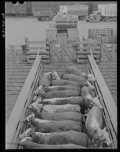Here's an example of a group of cattle sorted to create a uniform load. Folks have been doing this for ages. This photo is from the Union Stockyards in Chicago, Illinois. Taken by John Vachon, July 1941 courtesy of Farm Security Administration/Office of War Information Collection, Library of Congress