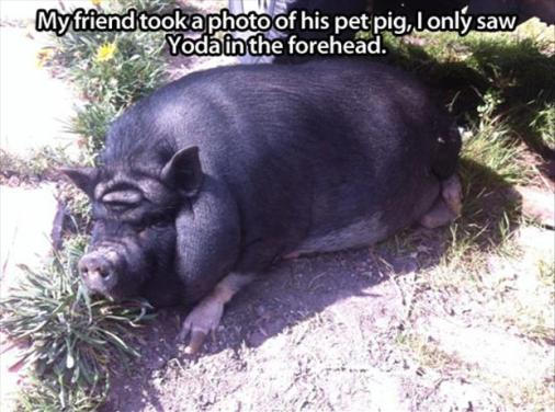 funny-pig-pictures1