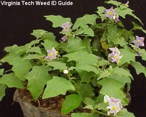 Here's a picture of horse nettle from the Virginia Tech Weed ID Guide put together by Scott Hagood.