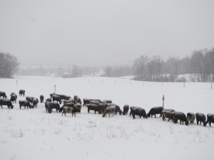 Yes!  Your cows CAN graze in the snow!