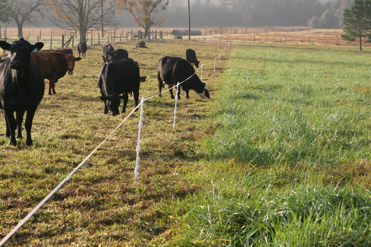 Strip Grazing Stockpiled Forages On Pasture