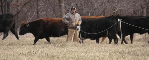 Steve Freeman moving cows