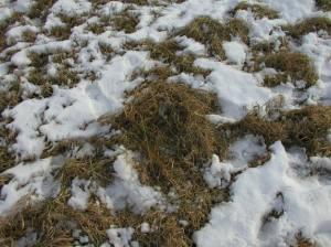 Photo of cool season, stockpiled grasses courtesy of ag.umass.edu