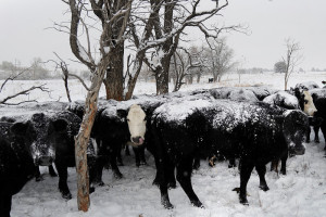 Herd flocks together to keep warm. During winter, provide enough hay and bedding area