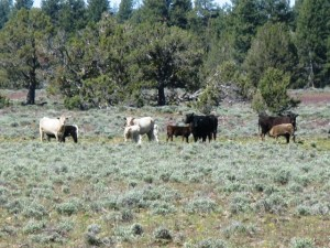 Cattle grazing in grass and sagebrush pasture.