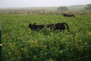 Cows grazing peas
