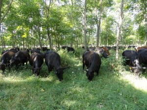 Brett has been silvo-pasturing his cattle ever since he learned the benefits to him, the forest, and his herd.