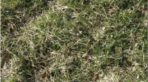 Grass in Paddock
