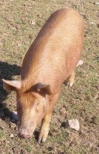 Tamworth pig. Photo courtesy of Wikipedia.