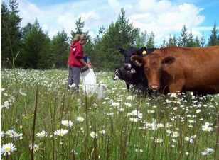 Bobs cows in pasture