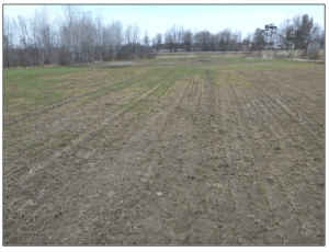 Post Winter Alfalfa pasture